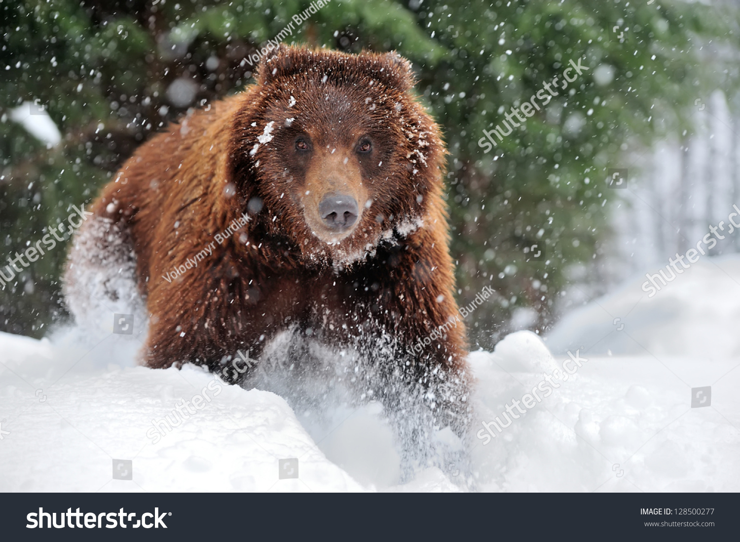 wild brown bear in winter forest stock photo 128500277. Black Bedroom Furniture Sets. Home Design Ideas