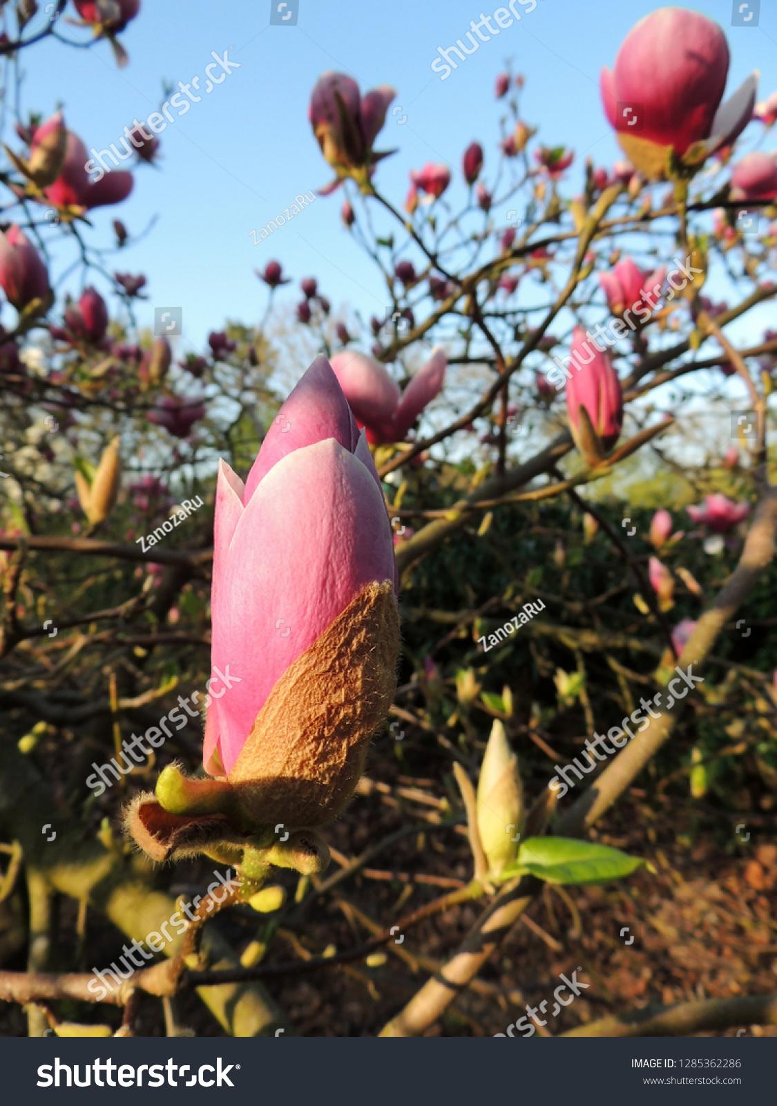Tulip Magnolia Magnolia X Soulangeana Lennei During Stock Photo