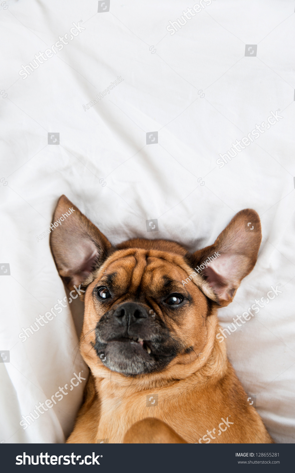 Dark Fawn Puggle Dog Laying On Owners Bed Stock Photo