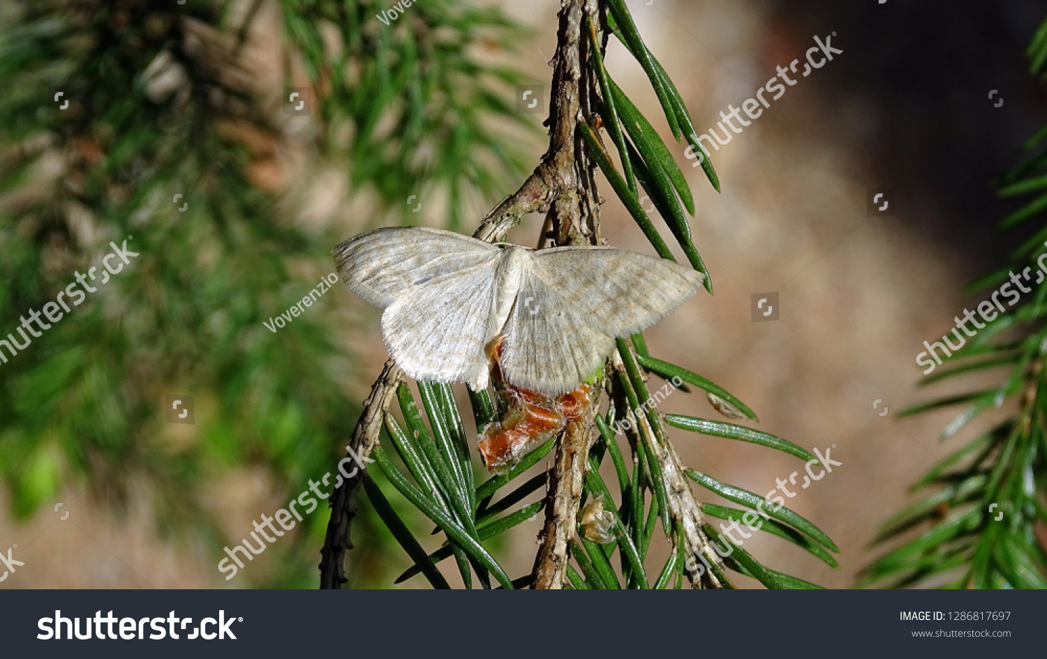 White butterfly on a pine twig #1286817697