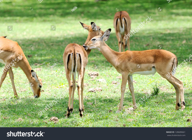 female impala antelopes crescent island lake naivasha in. Black Bedroom Furniture Sets. Home Design Ideas