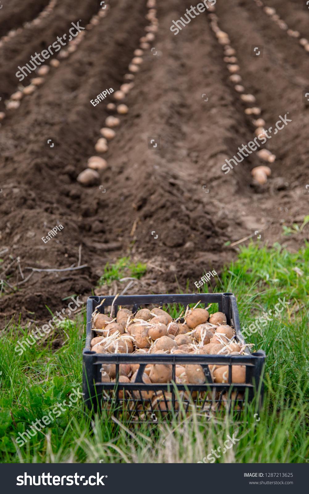 Potatoes Boxes Planting Planting Potatoes On Stock Photo Edit Now