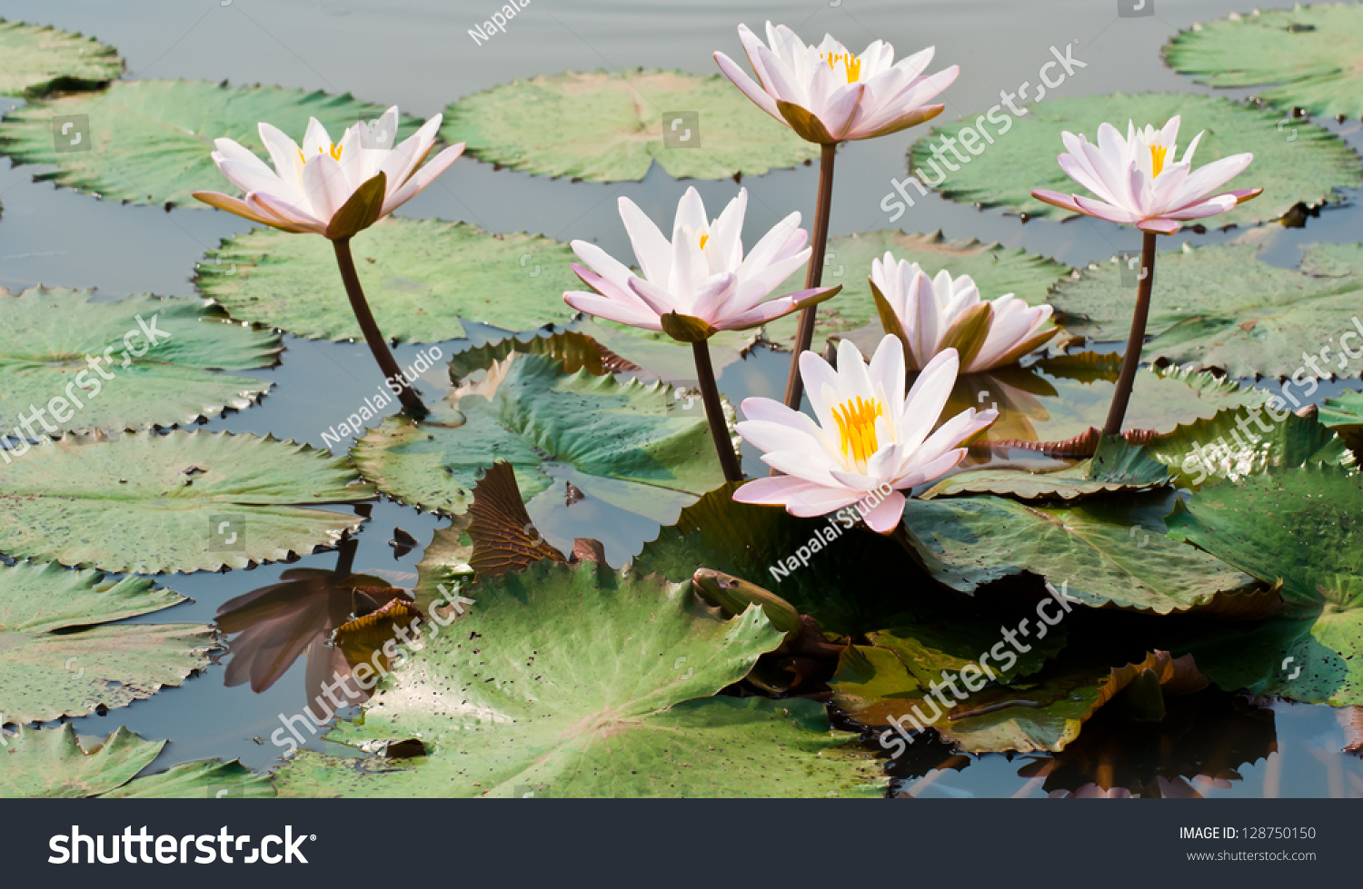 White Lotus Flower Pond Natural Light Stock Photo Edit Now