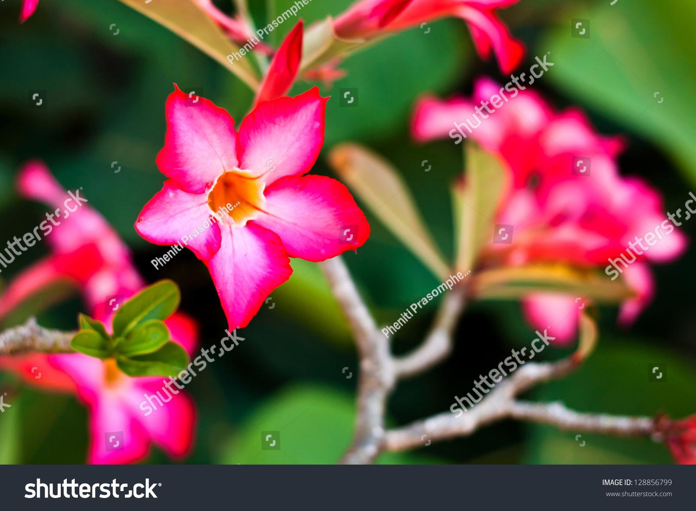Branch Tropical Pink Flowers Frangipani Plumeria Stock Photo