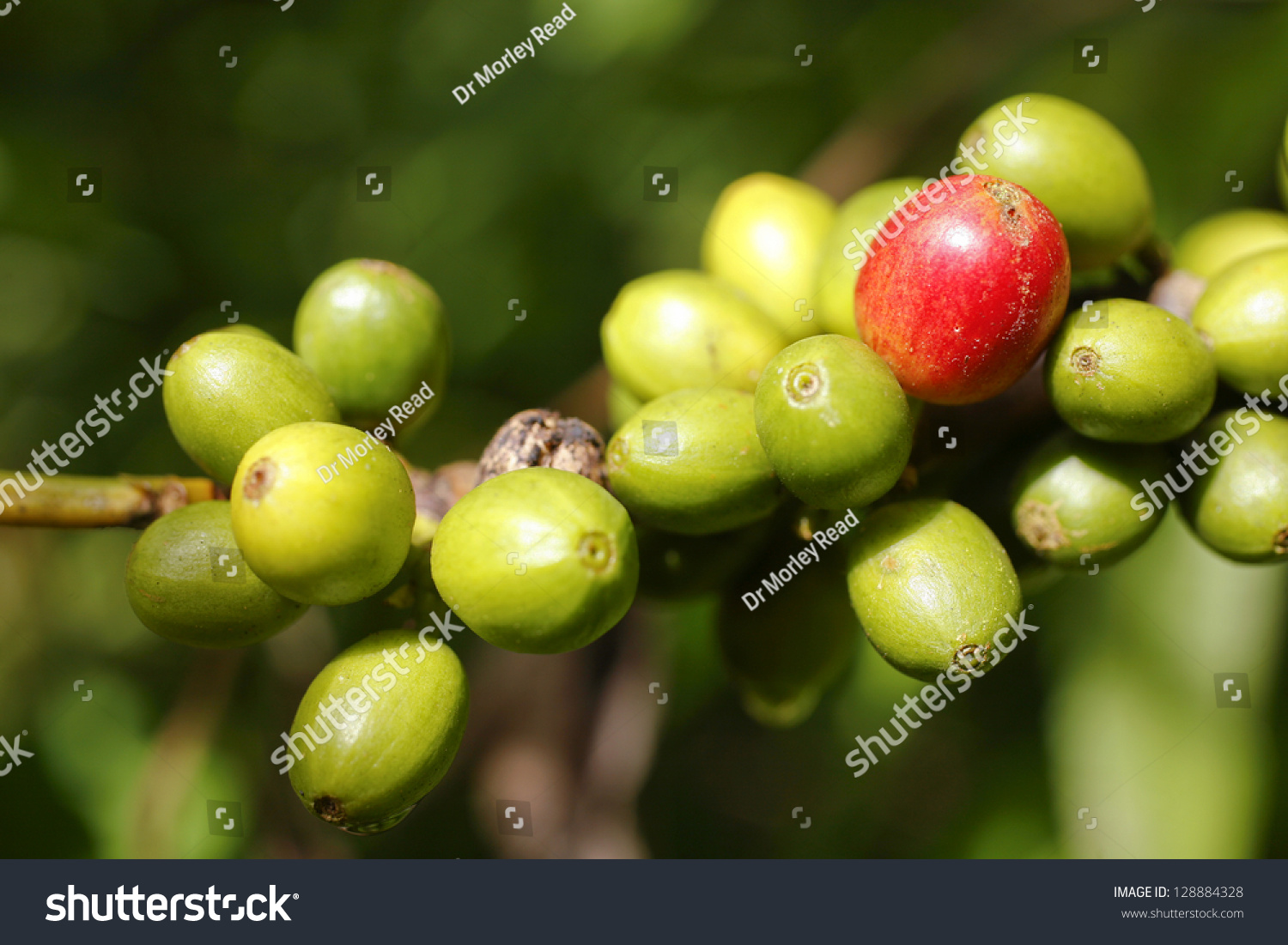 Coffee green urine picture 10