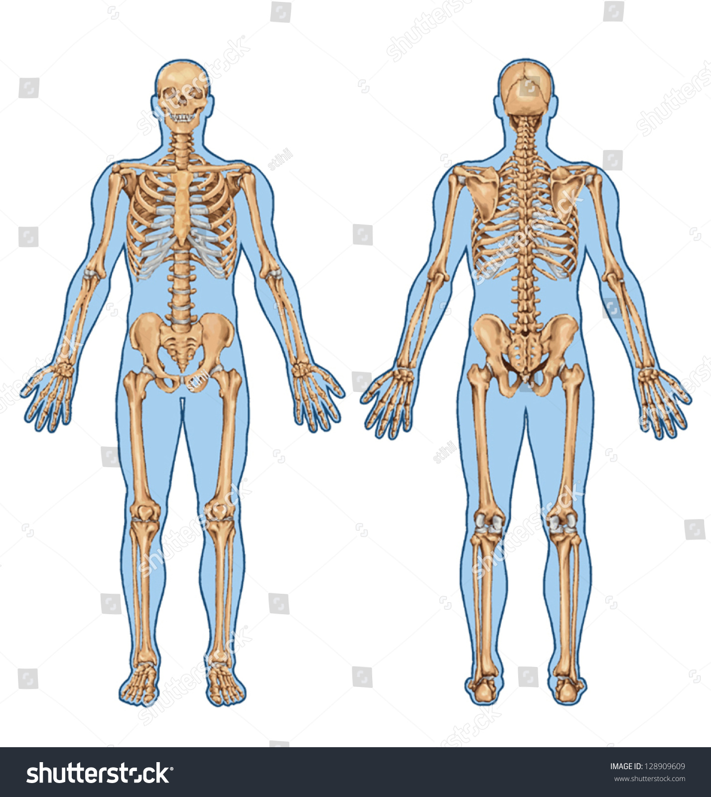 human skeleton posterior anterior view didactic stock vector