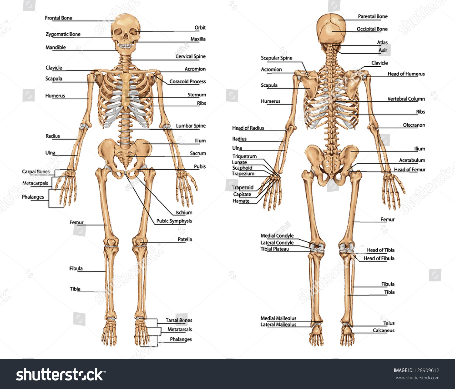 anterior and posterior anatomy choice image - learn human anatomy, Skeleton