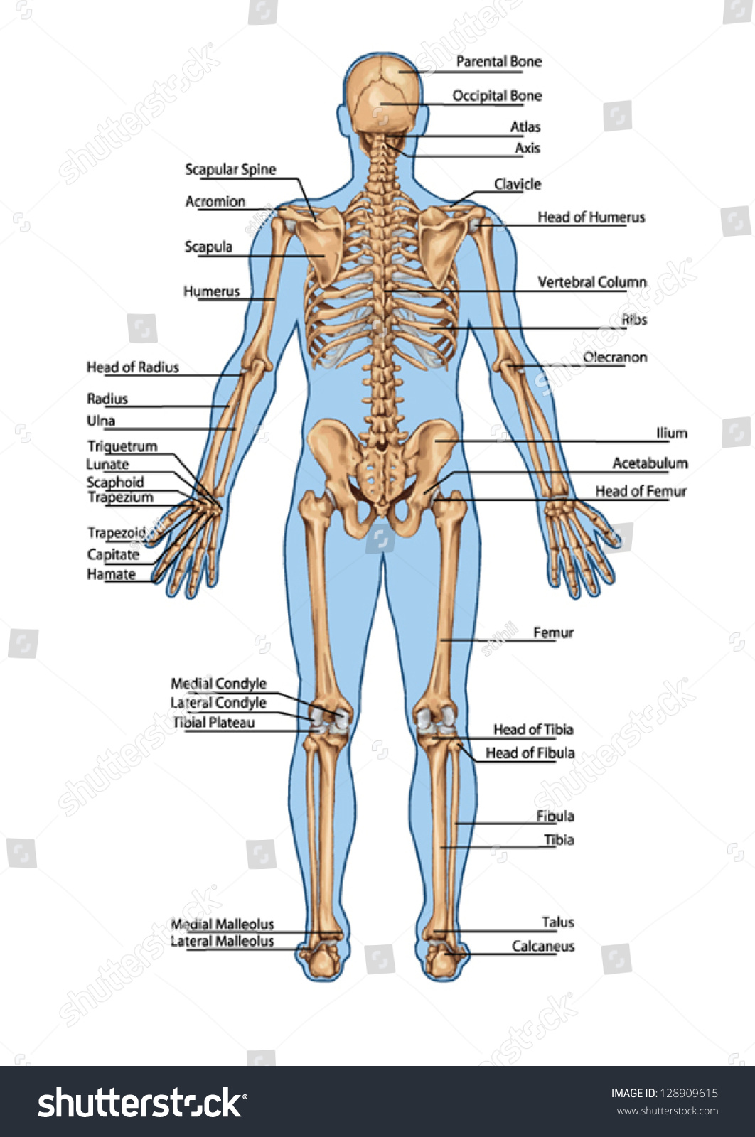 Human Skeleton Posterior View Didactic Board Stock Vector 128909615 ...