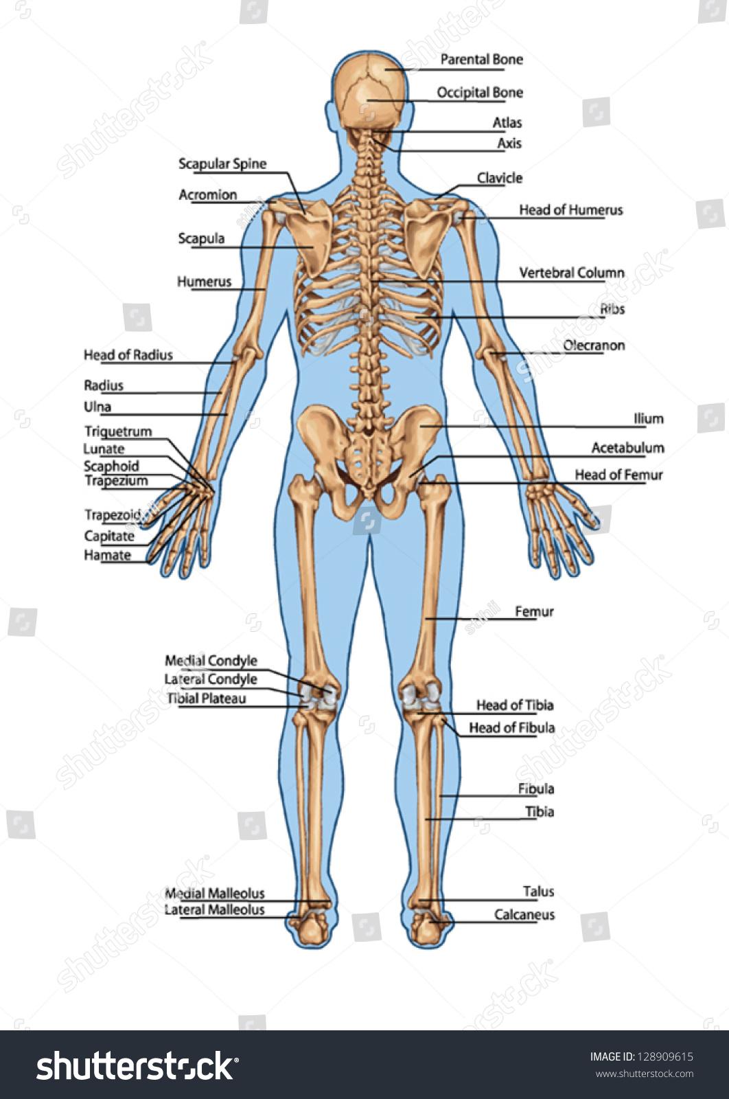 Human Skeleton Posterior View Didactic Board Stock-Vektorgrafik ...