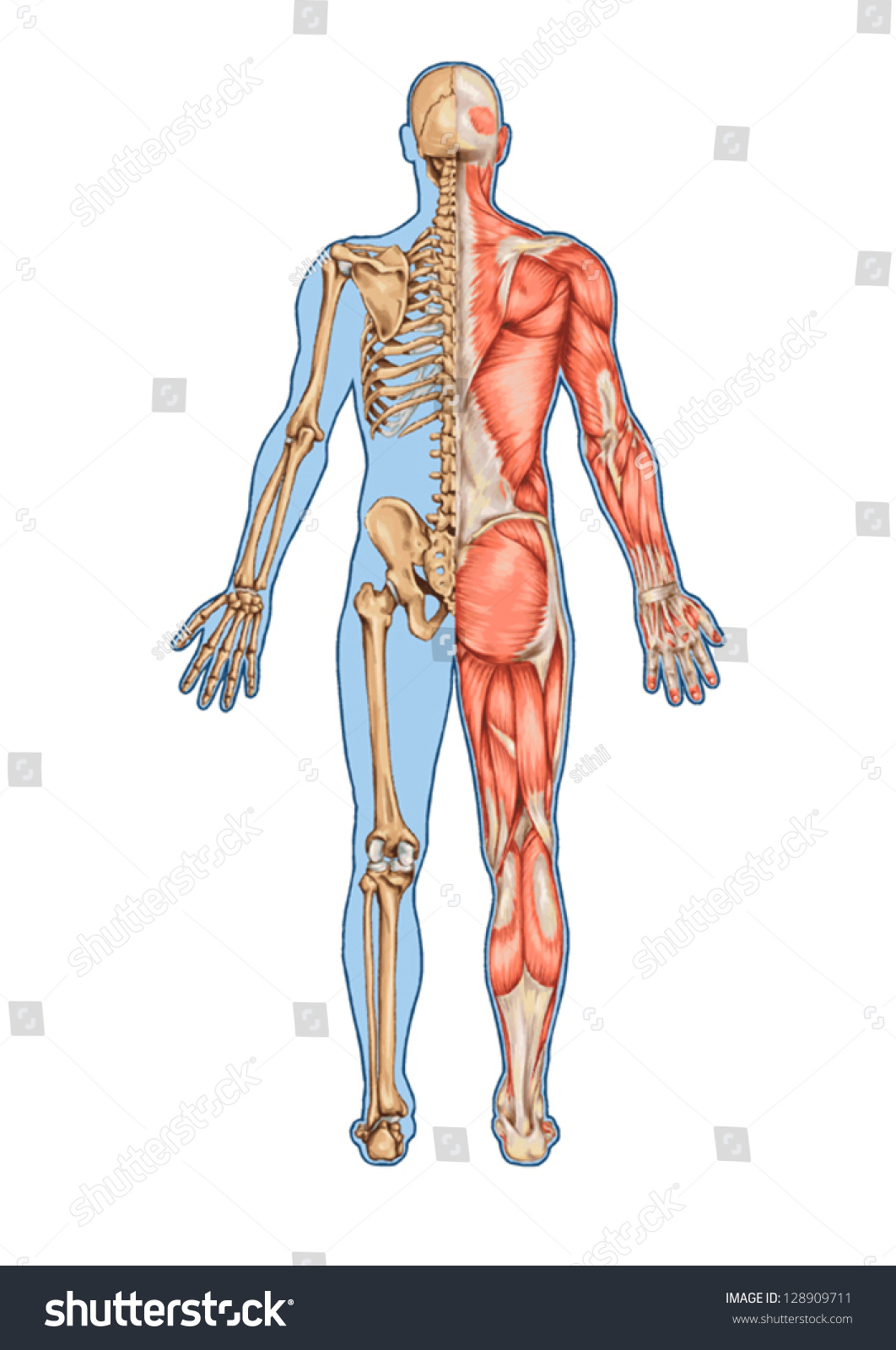 Human Skeleton Posterior View Didactic Board Stock Vector Royalty