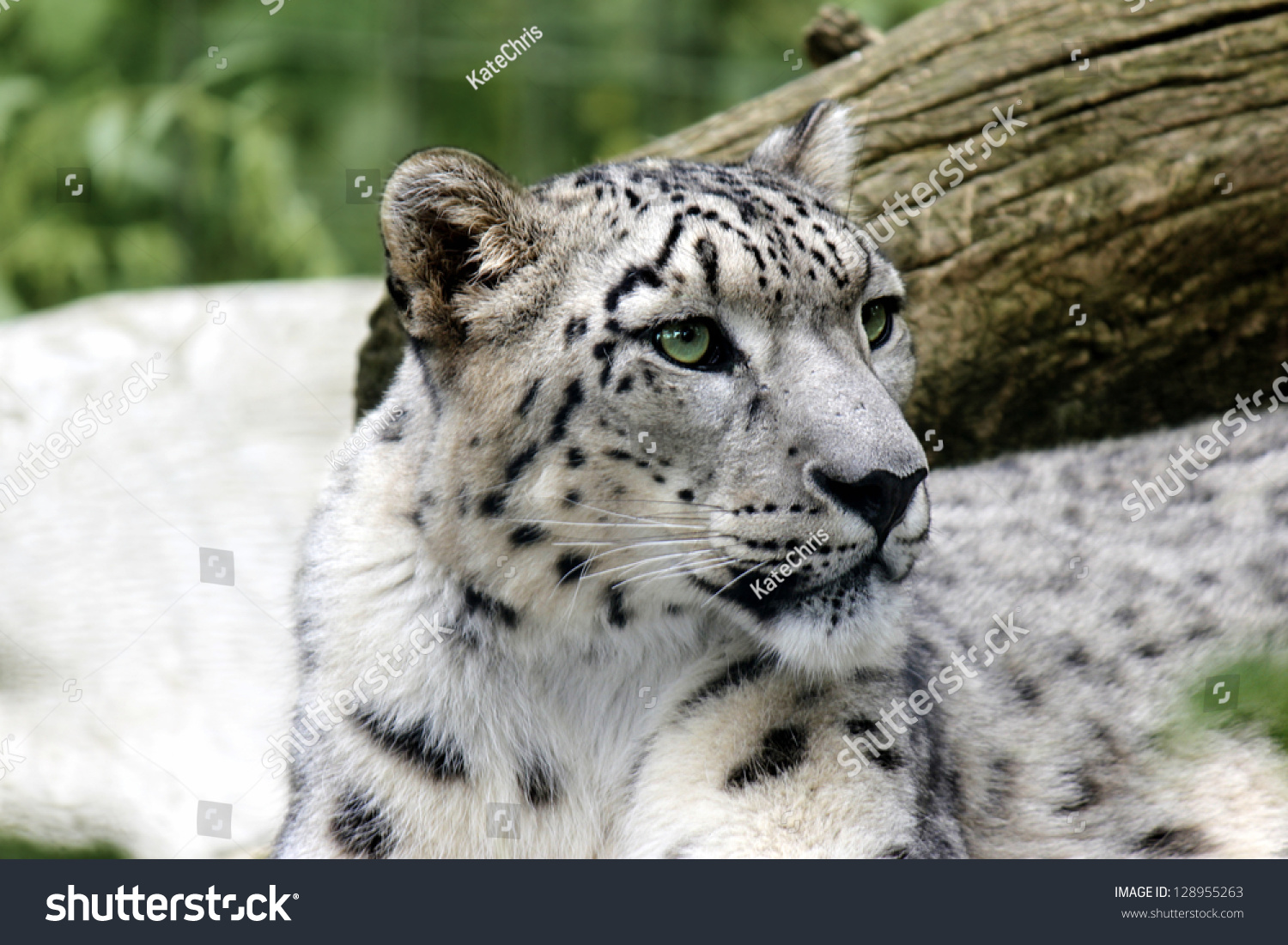 portrait snow leopard looking side background stock photo (100