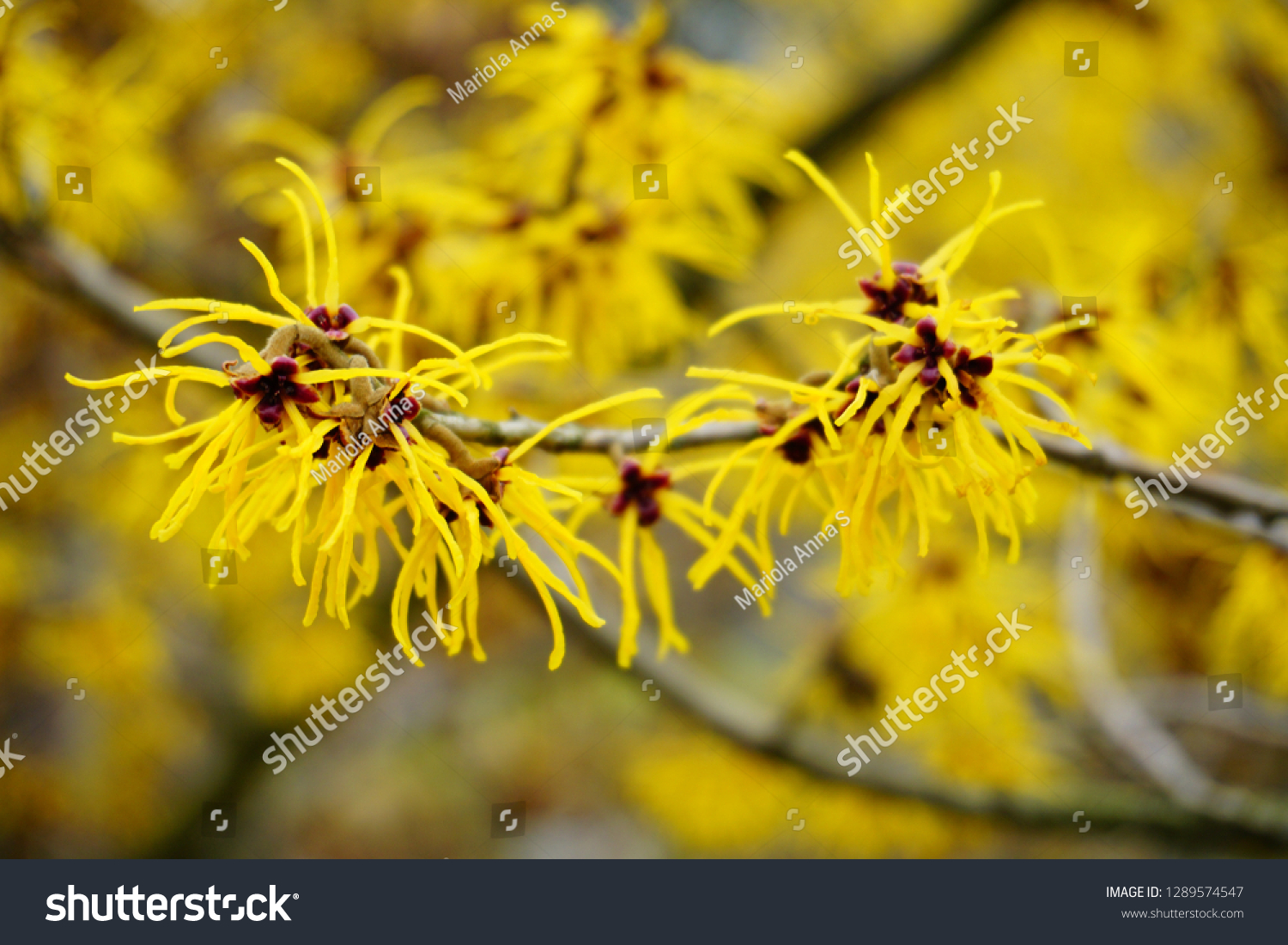 Witch Hazel Hamamelis Virginiana Stock Photo Edit Now 1289574547