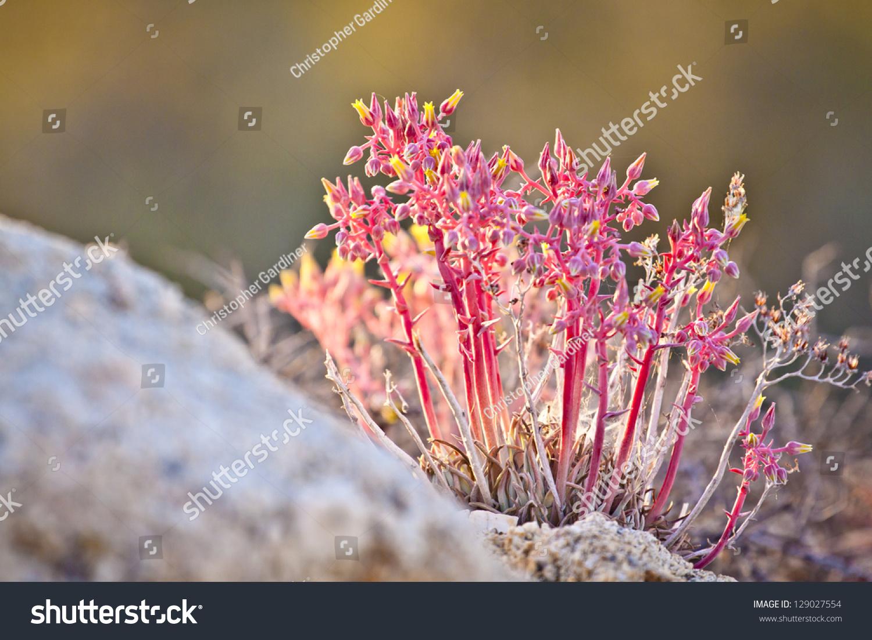 Pink Yellow Desert Flowers Stock Photo Edit Now 129027554