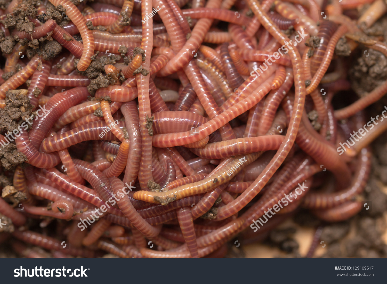 red worms compost bait fishing stock photo 129109517