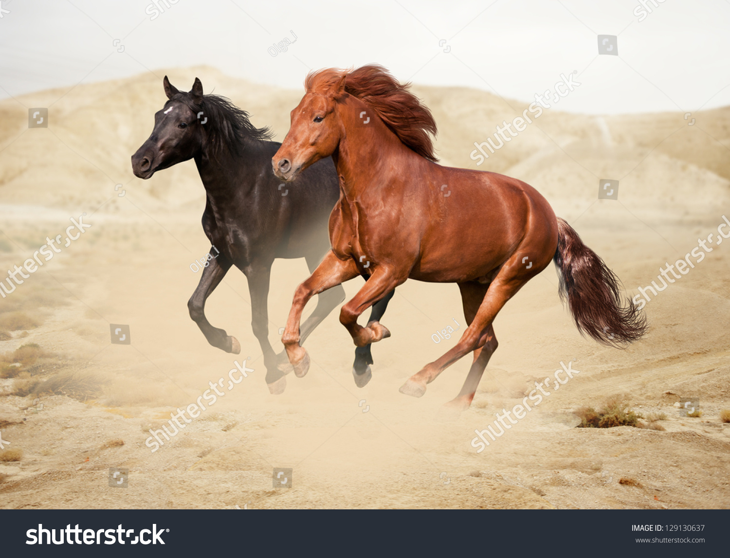 Purebred White Arabian Horse In Desert Stock Photo ...