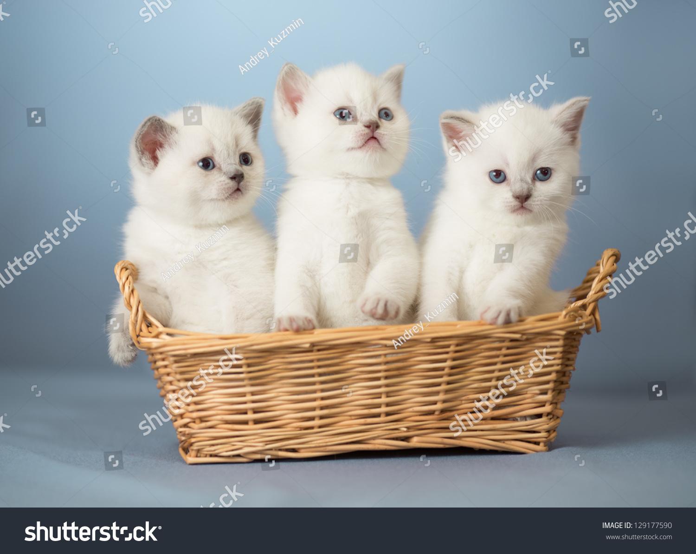 Three White British Kittens In Basket Stock Photo ...