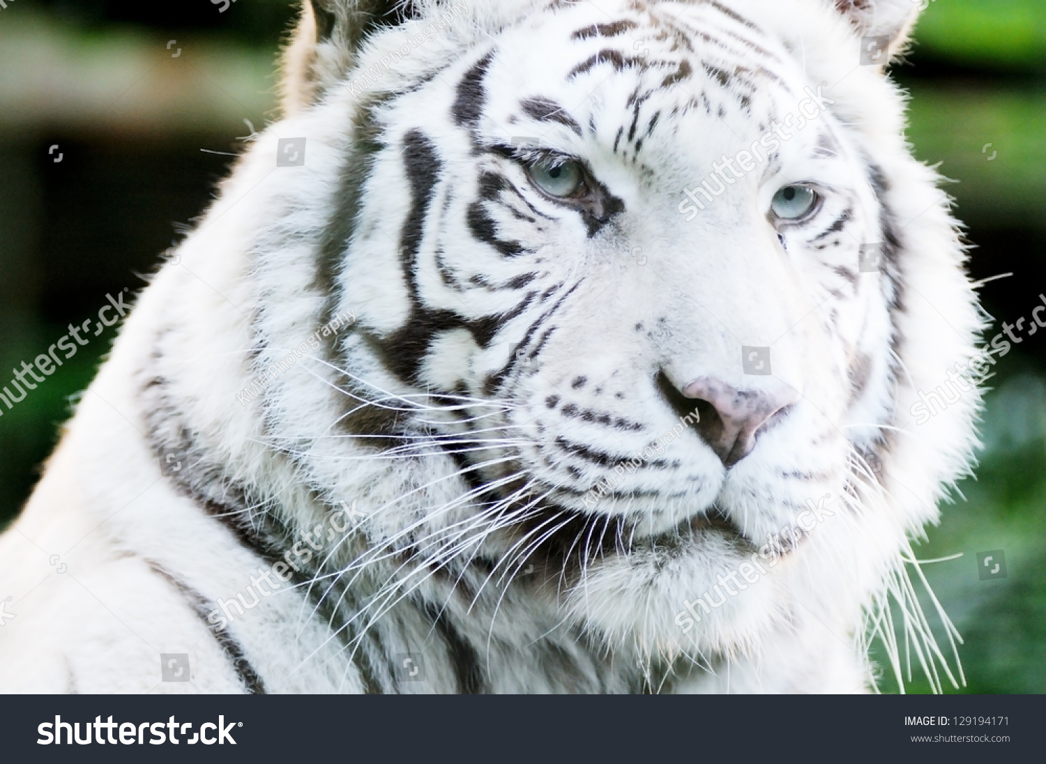 White tiger close up face - photo#28