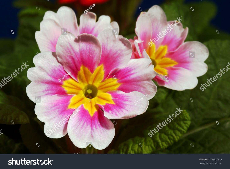 Small Spring Flowers Primroses Poland Ez Canvas