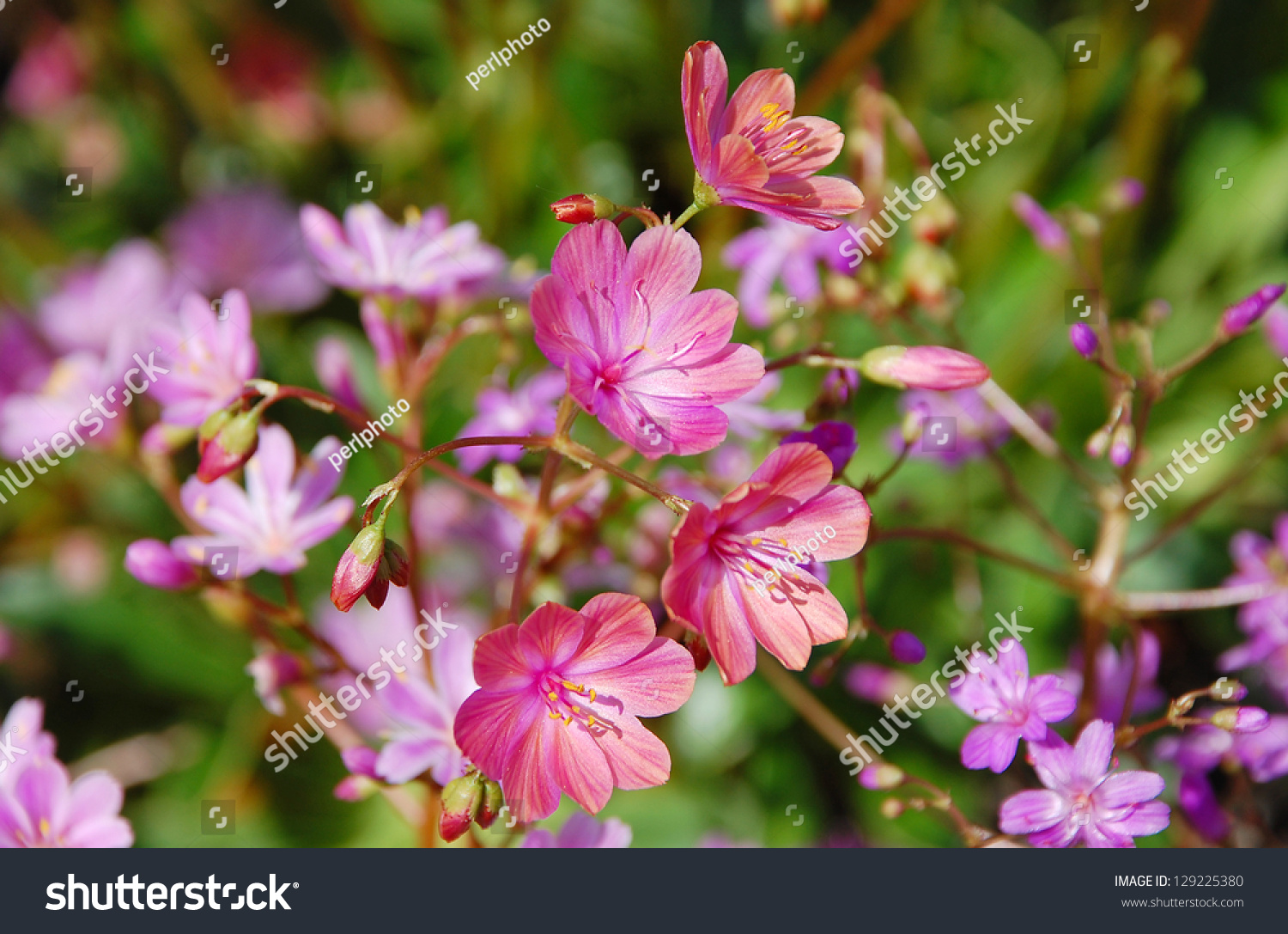Little Pink Flowers Blooming Spring Stock Photo Royalty Free