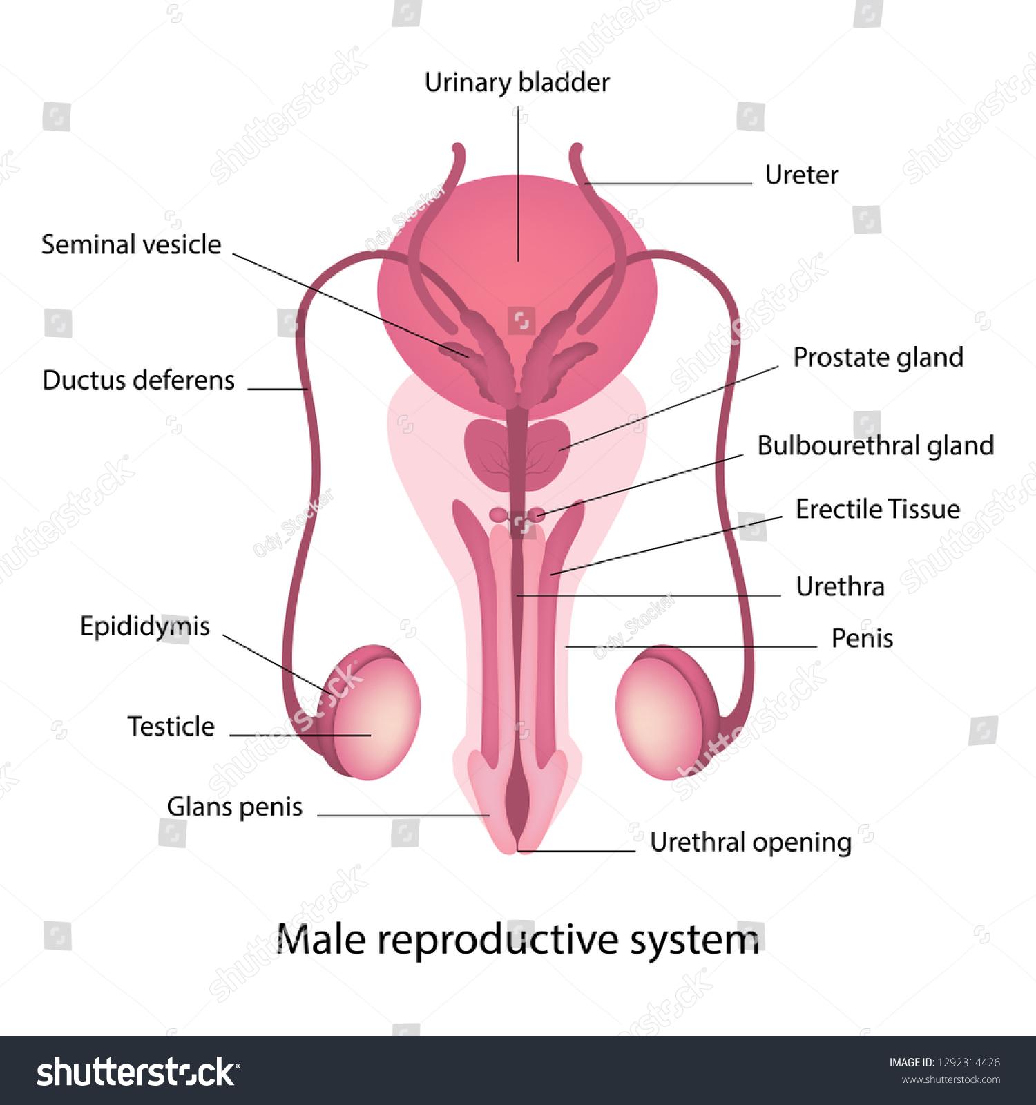 Male Reproductive System Anatomy Stock Vektorgrafik Lizenzfrei