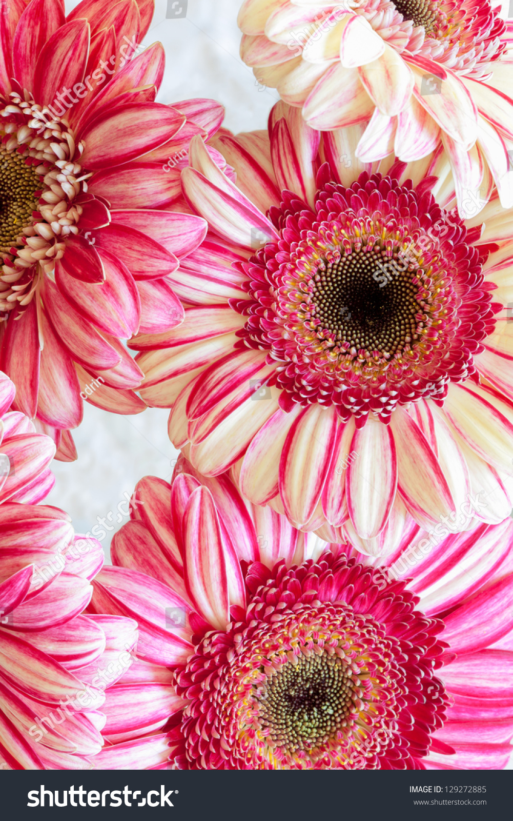 Pink Red Cream Gerbera Daisy Flowers Stock Photo (Download Now ...