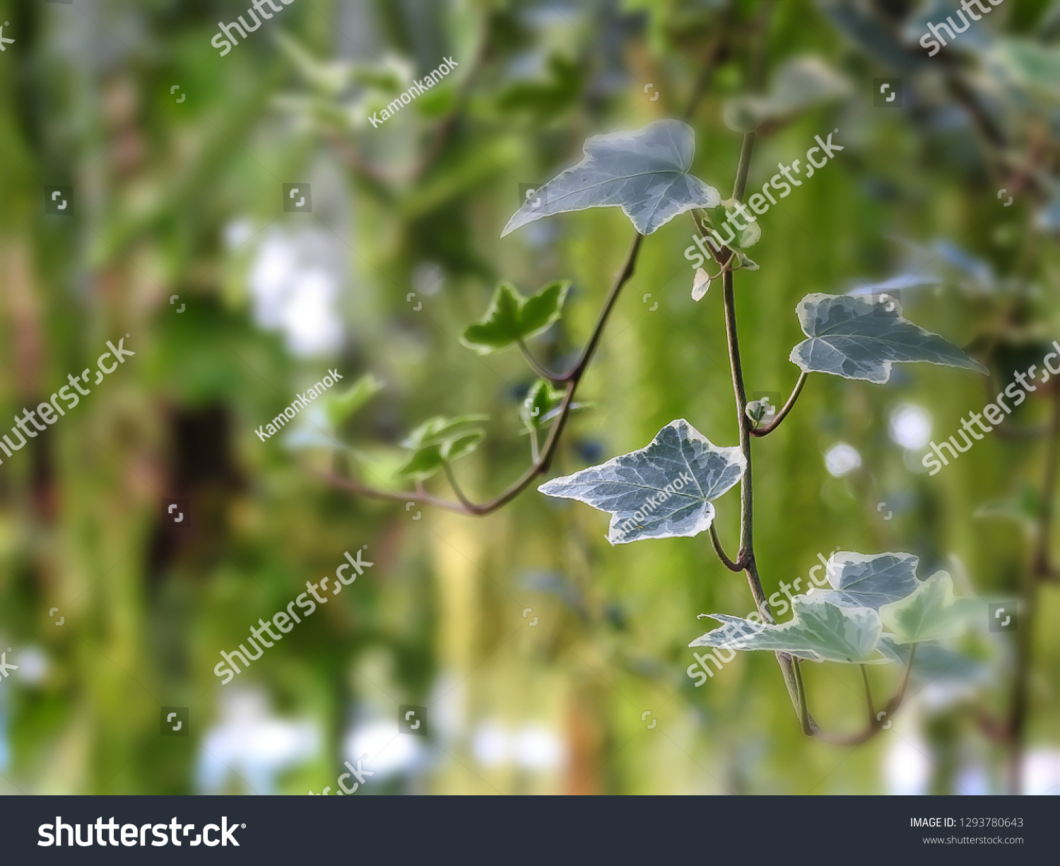 Green Ivy Vine On Blurred Green Stock Photo Edit Now 1293780643