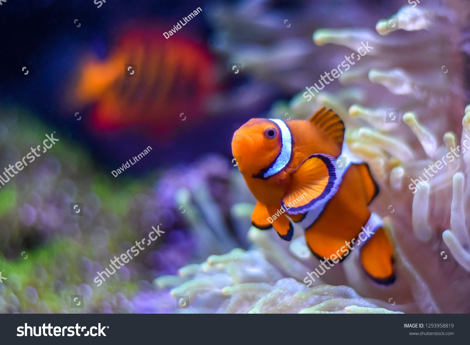"""A Percula Clownfish,  (Amphiprion percula), also known as """"clown fish"""" or anemonefish, in the safety of its host sea anemone as a Flame Angelfish (Centropyge loricula) swims by in the distance."""
