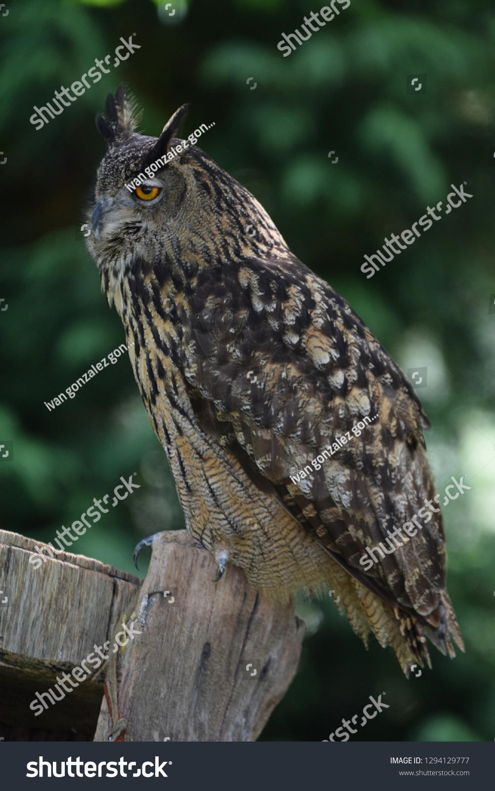 Spectacular Spanish Owl Stock Photo Edit Now 1294129777