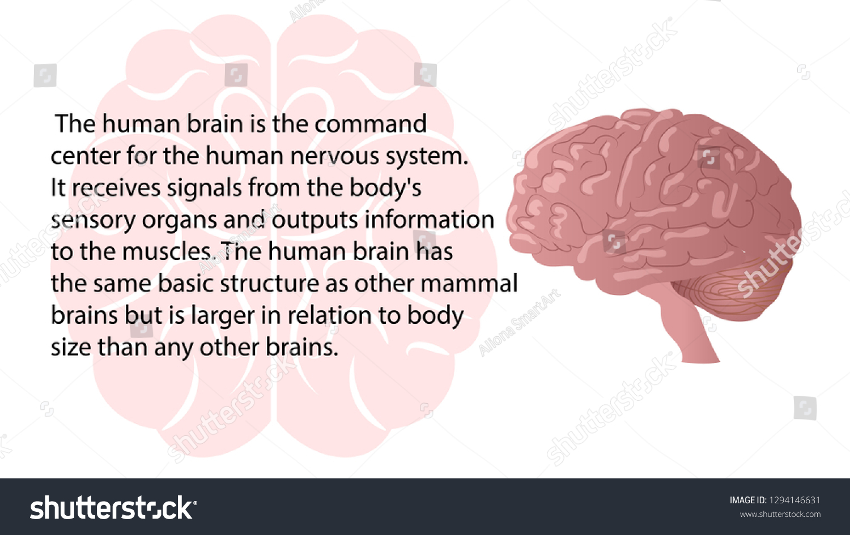 Human Brain Diagram And Functions Detail Tollebild