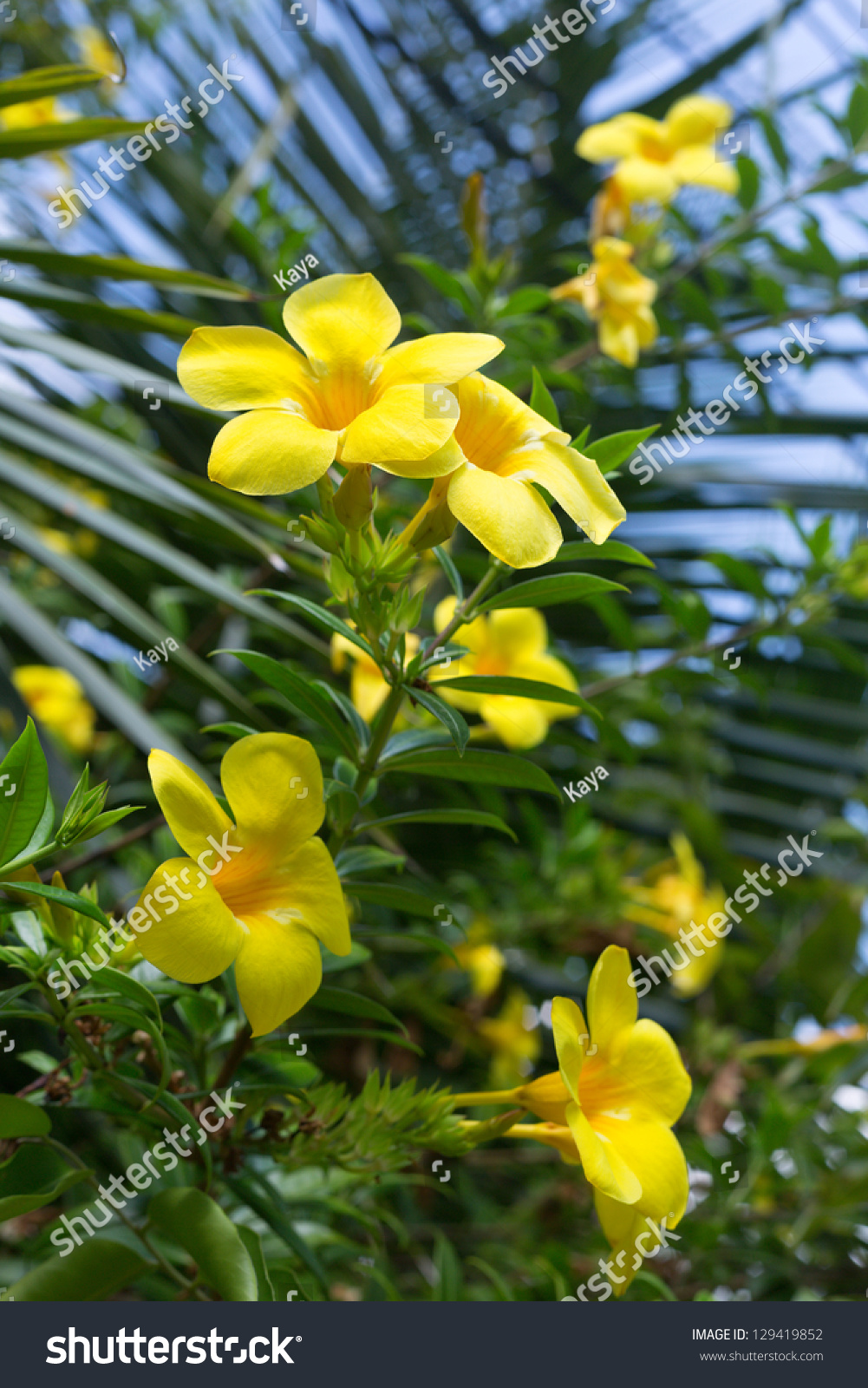Bush Yellow Tropical Flowers Yellow Plumeria Stock Photo Edit Now