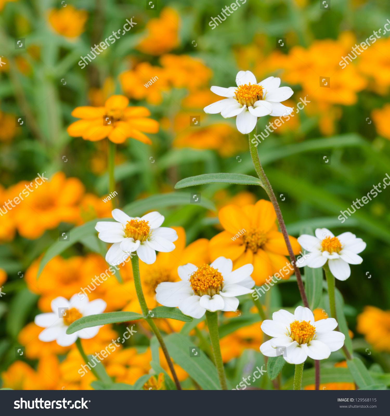 Beautiful Blooming Flowers Orange Color Stock Photo Edit Now