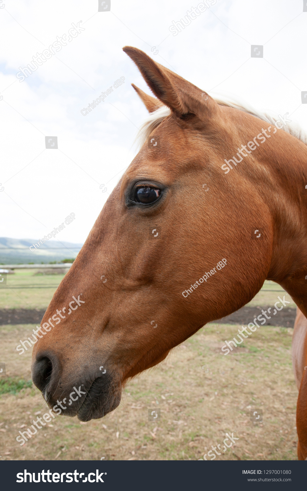 Portrait of palomino horse #1297001080