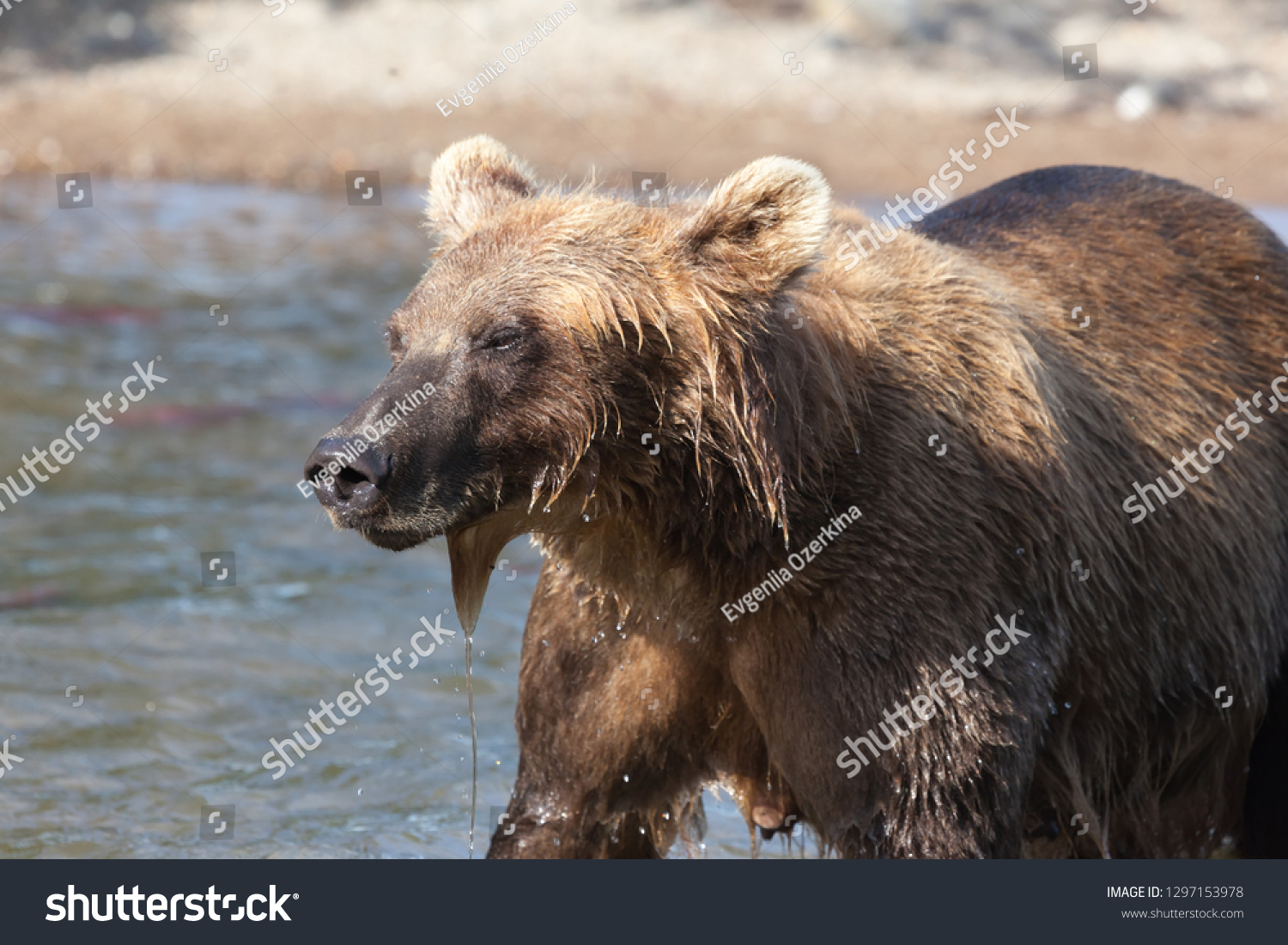 A wild brown bear grizzly fishing. The bear stands  in water in Kuril lake lake in summer. Kronotsky National Park. Kamchatka. Russia