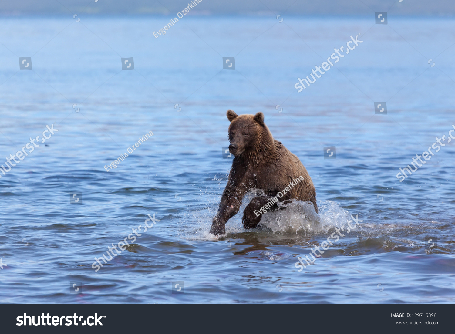 stock-photo-a-wild-brown-bear-grizzly-fi