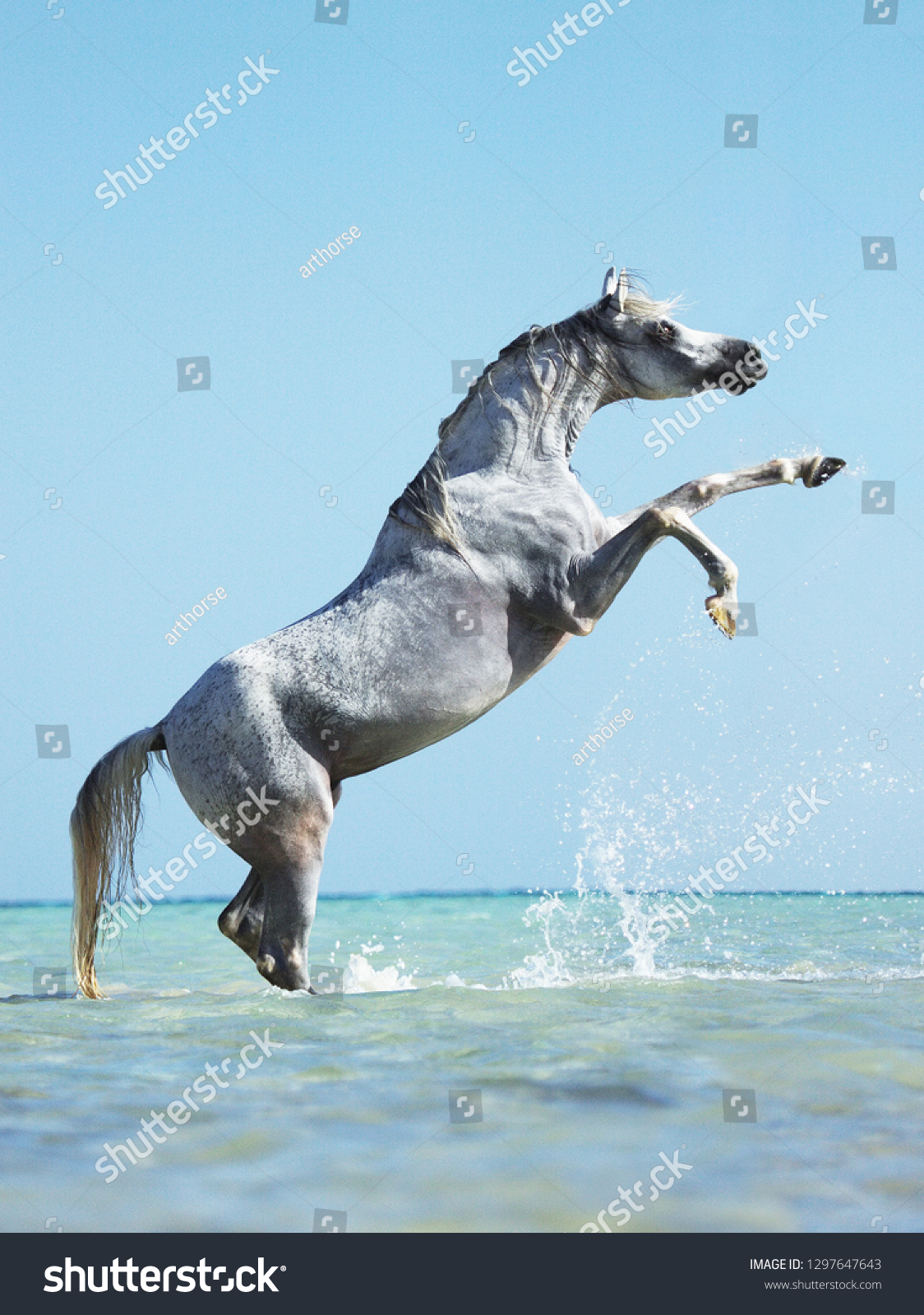 Light Grey Arabian Horse Rearing While Stock Photo Edit Now 1297647643