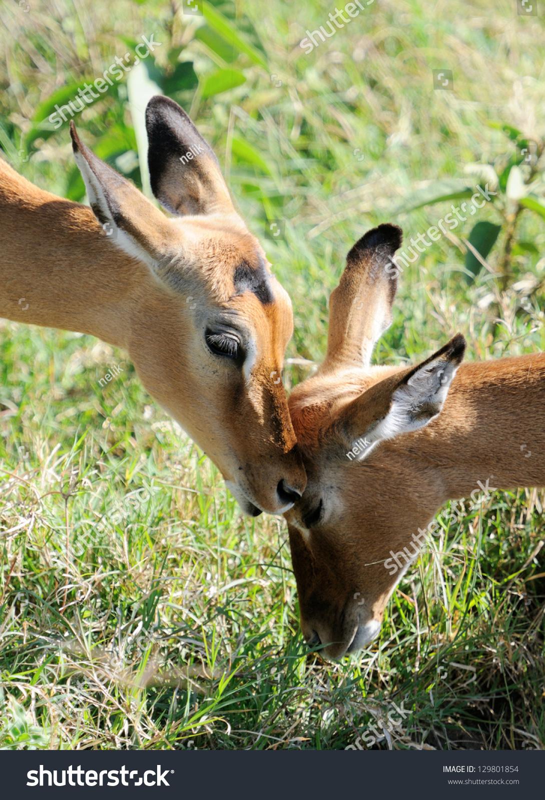 female impala antelopes lake nakuru kenya stock photo. Black Bedroom Furniture Sets. Home Design Ideas
