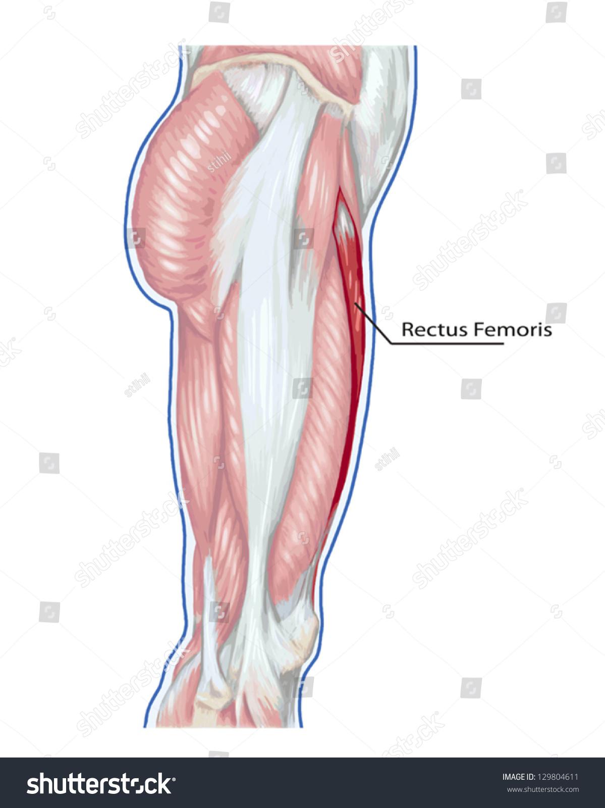 Rectus Femoris Didactic Board Anatomy Leg Stock Vector HD (Royalty ...