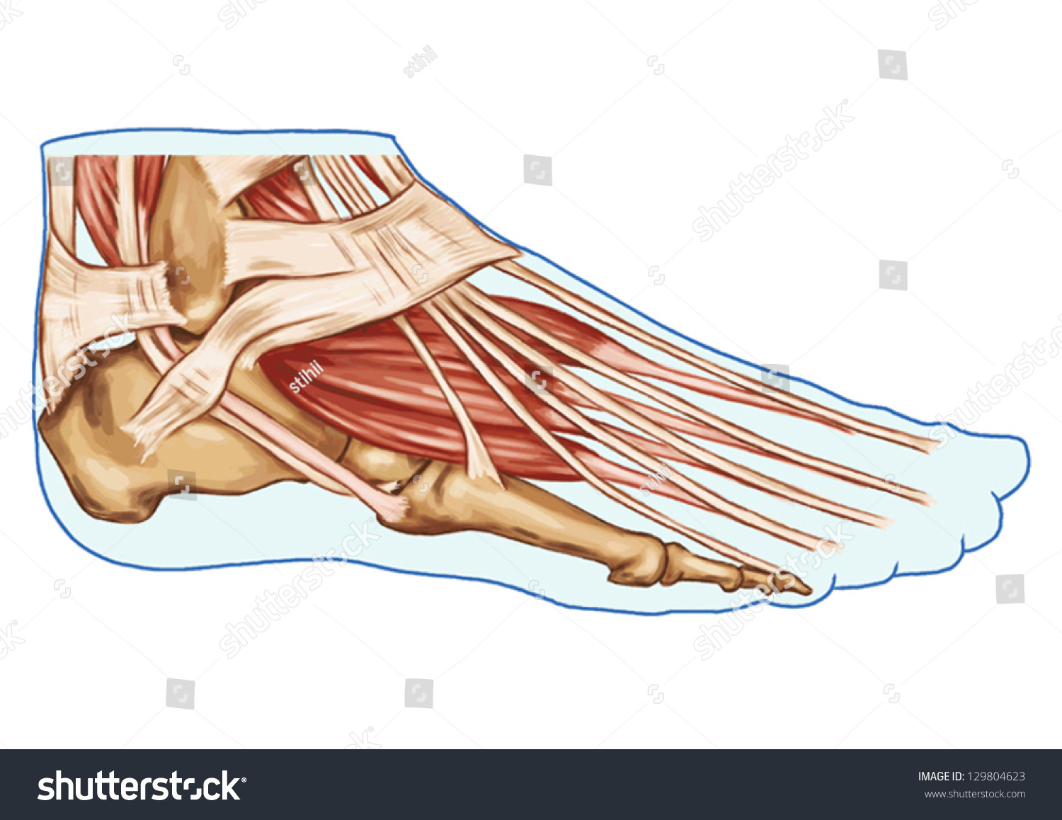 Foot Muscles Tendons Anatomy Leg Foot Stock Vector (Royalty Free ...