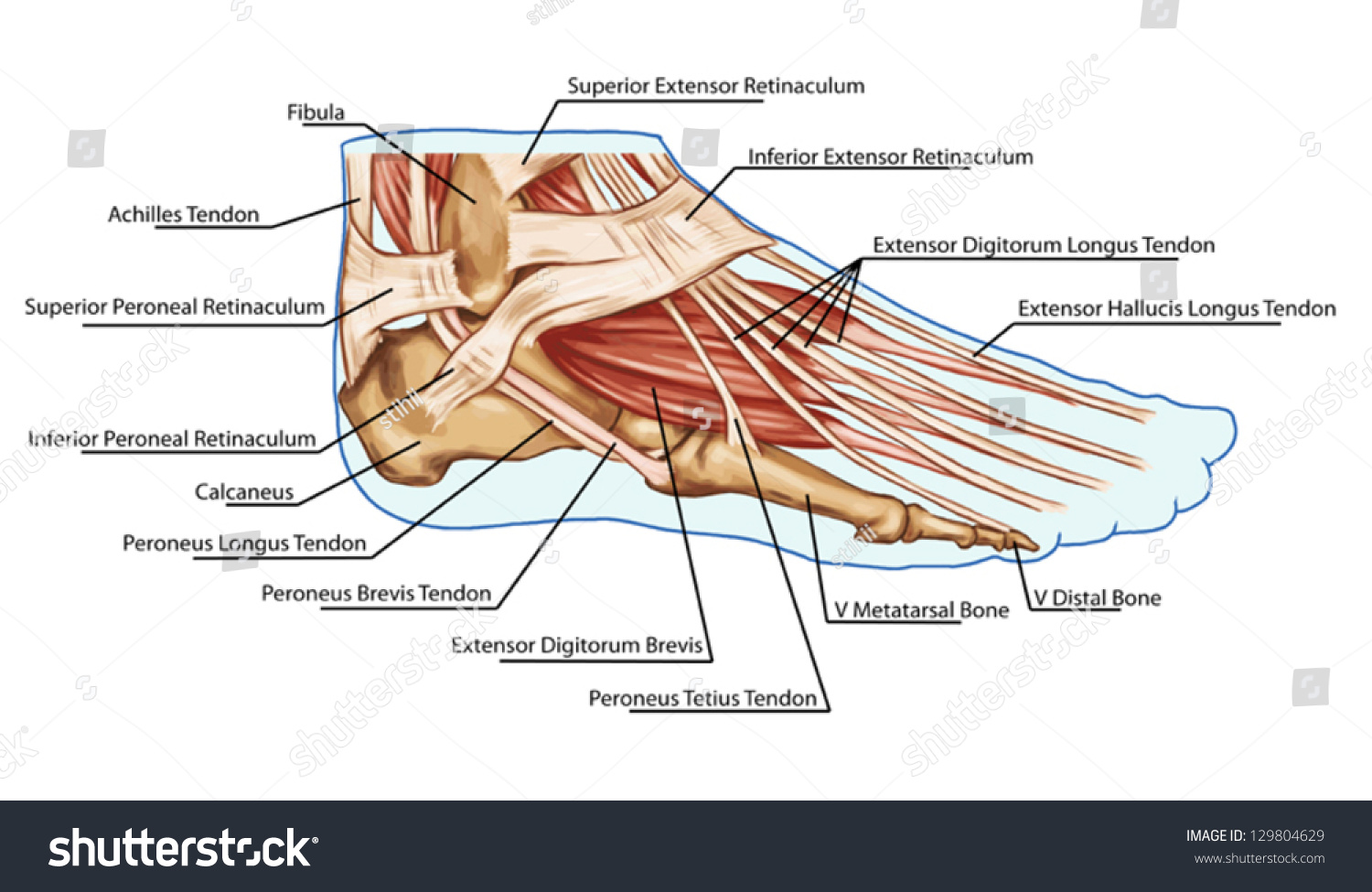 Royalty Free Foot Muscles And Tendons Anatomy 129804629