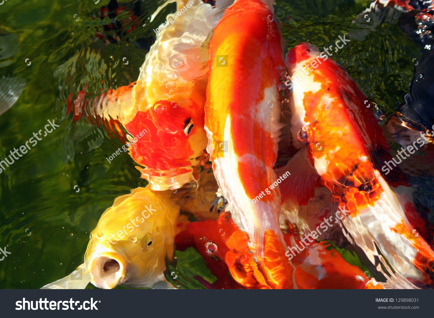 Koi Huddle Yellow Koi Fish Open Stock Photo (Royalty Free) 129898031 ...