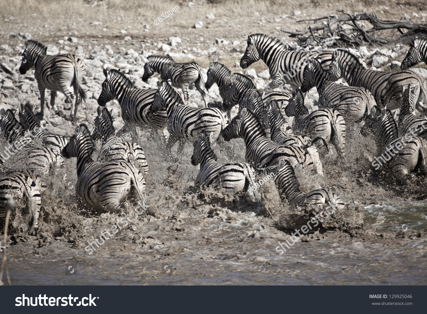 zebras running from predator - photo #8