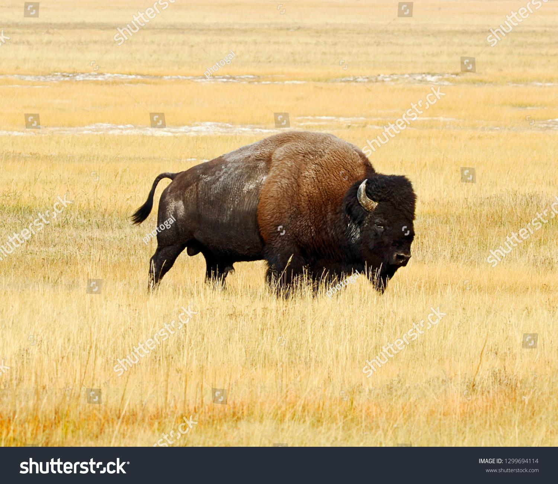 stock-photo-lone-bison-bull-in-yellowsto