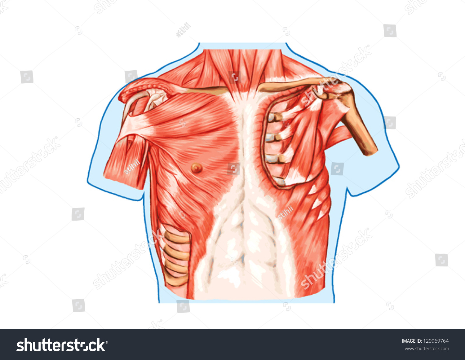 Muscles Chest Thorax Brisket Breast Bust Stock Vector 2018