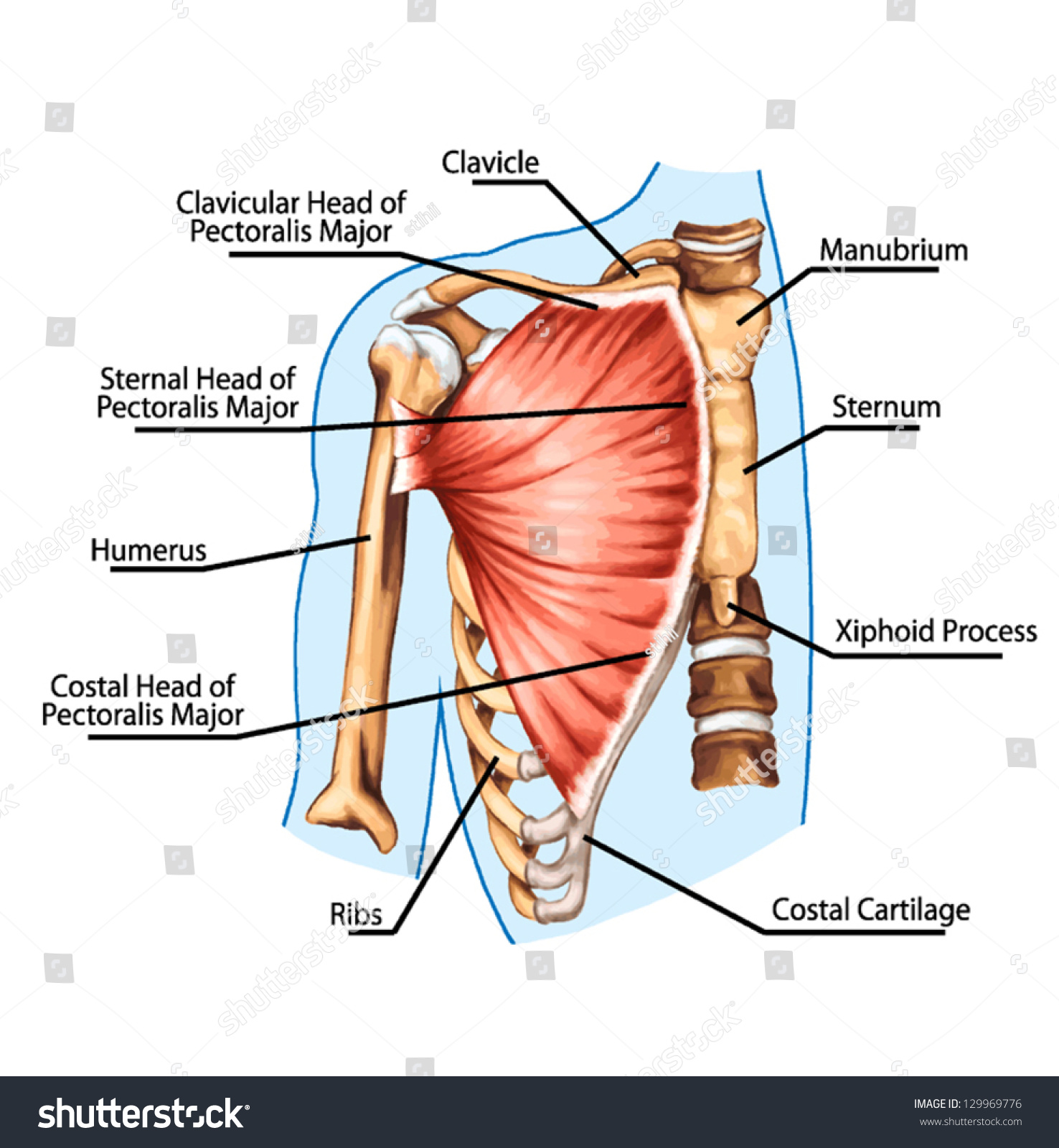 Pectoralis Major Muscle Muscles Chest Thorax Stock Vector 129969776