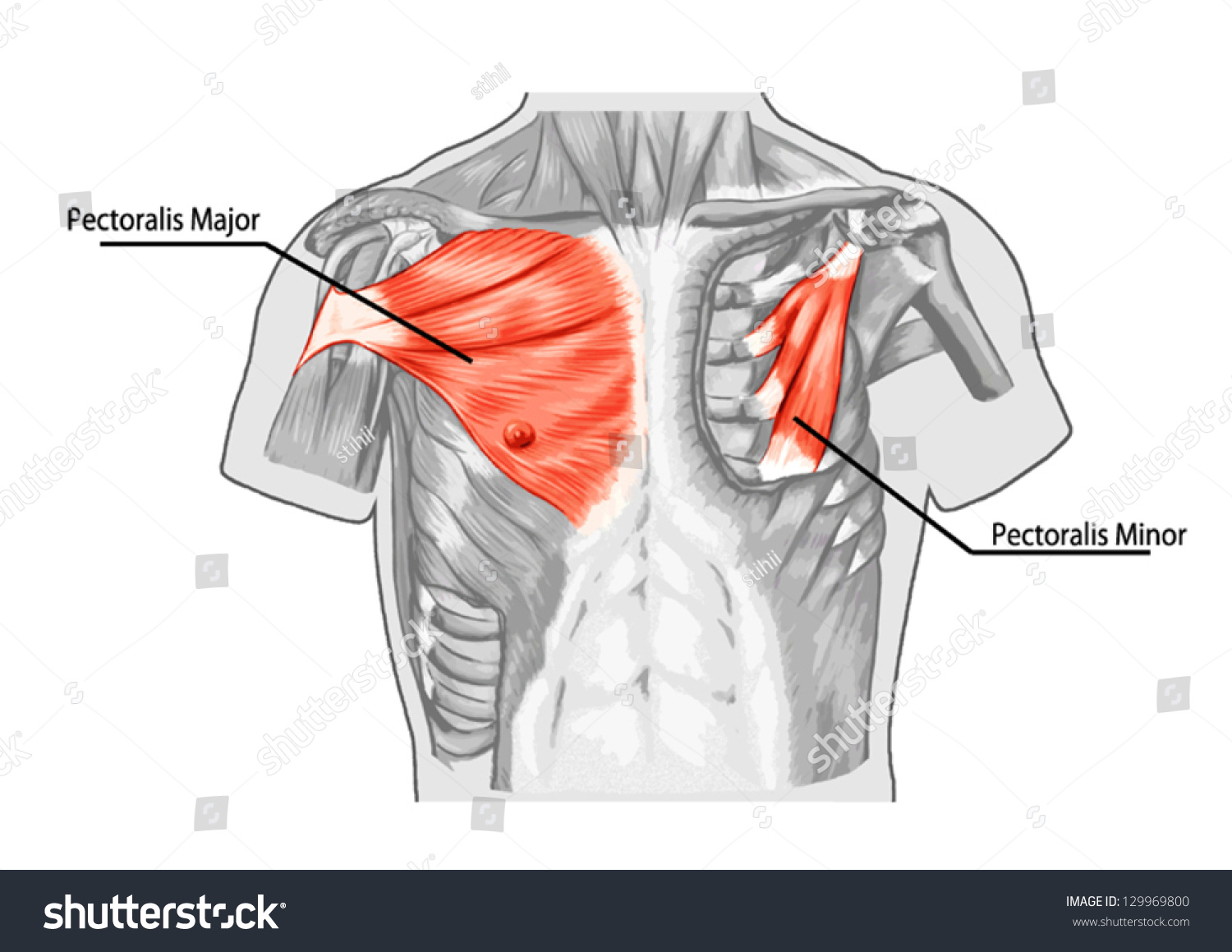 Pectoralis Major Muscle Muscles Chest Thorax Stock-Vektorgrafik ...