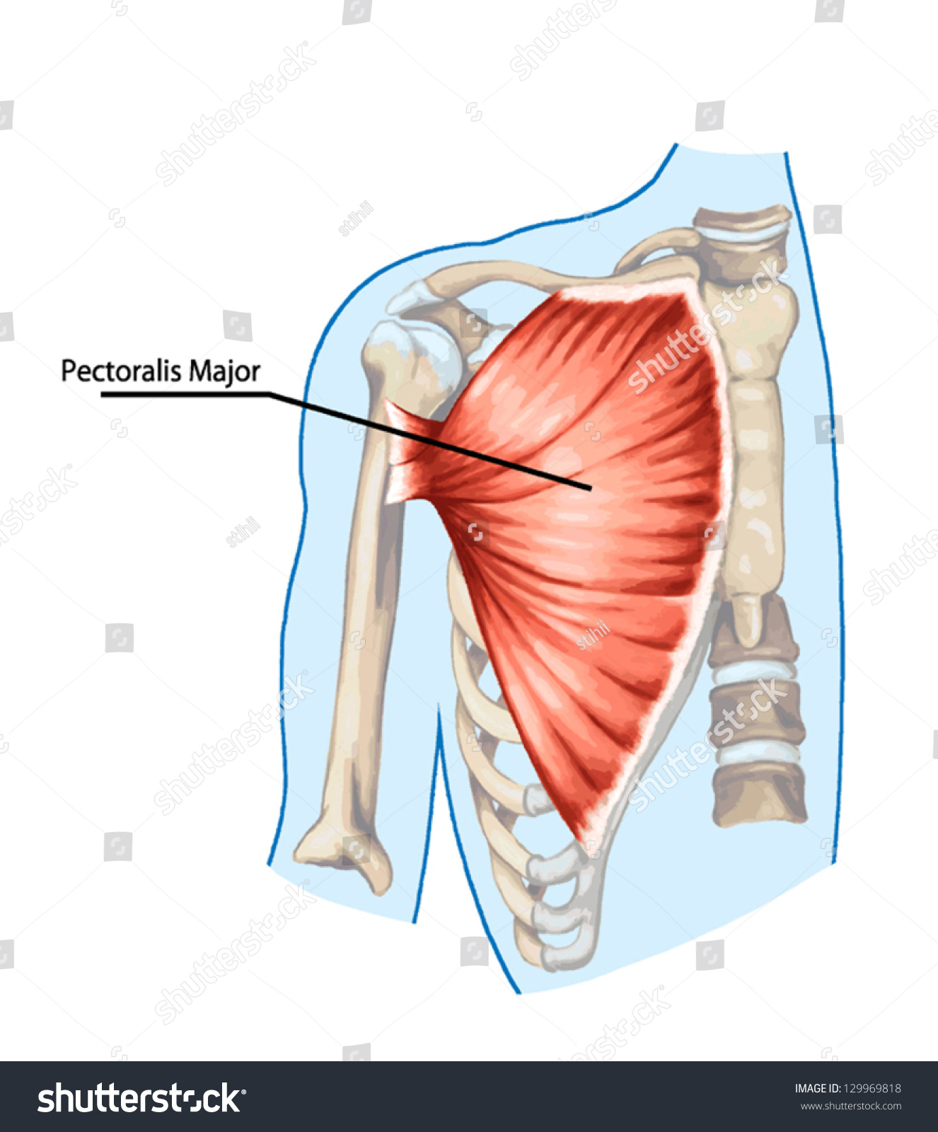Pectoralis Major Muscle Muscles Chest Thorax Stock Vector (Royalty ...