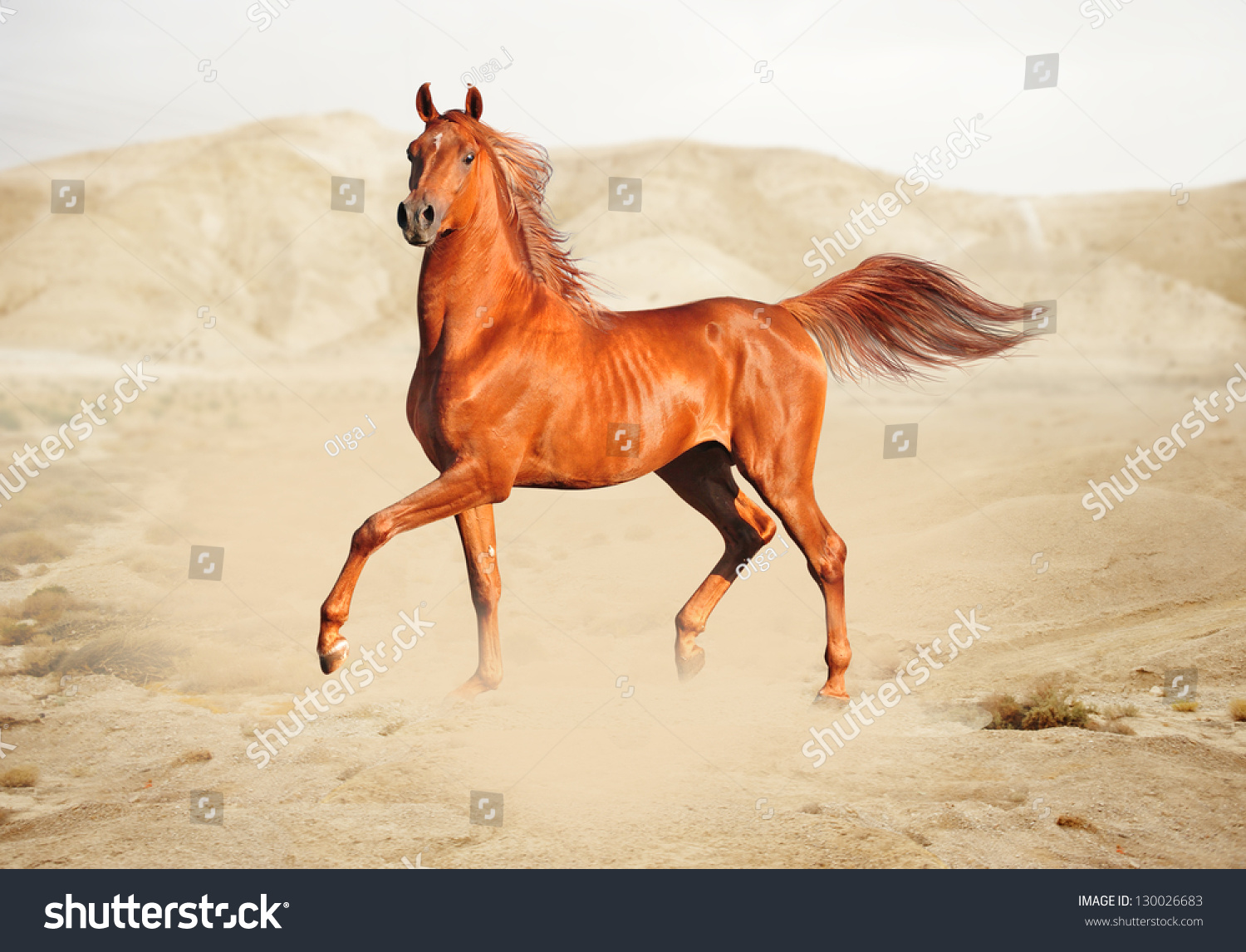 Purebred White Arabian Horse Desert Stock Photo 130026683 ...