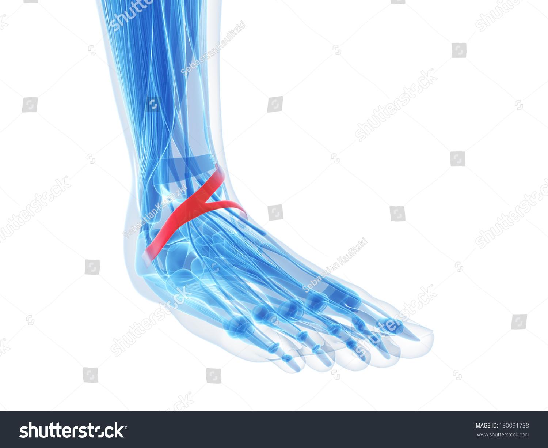 Foot Anatomy Inferior Extensor Retinaculum Stock Illustration