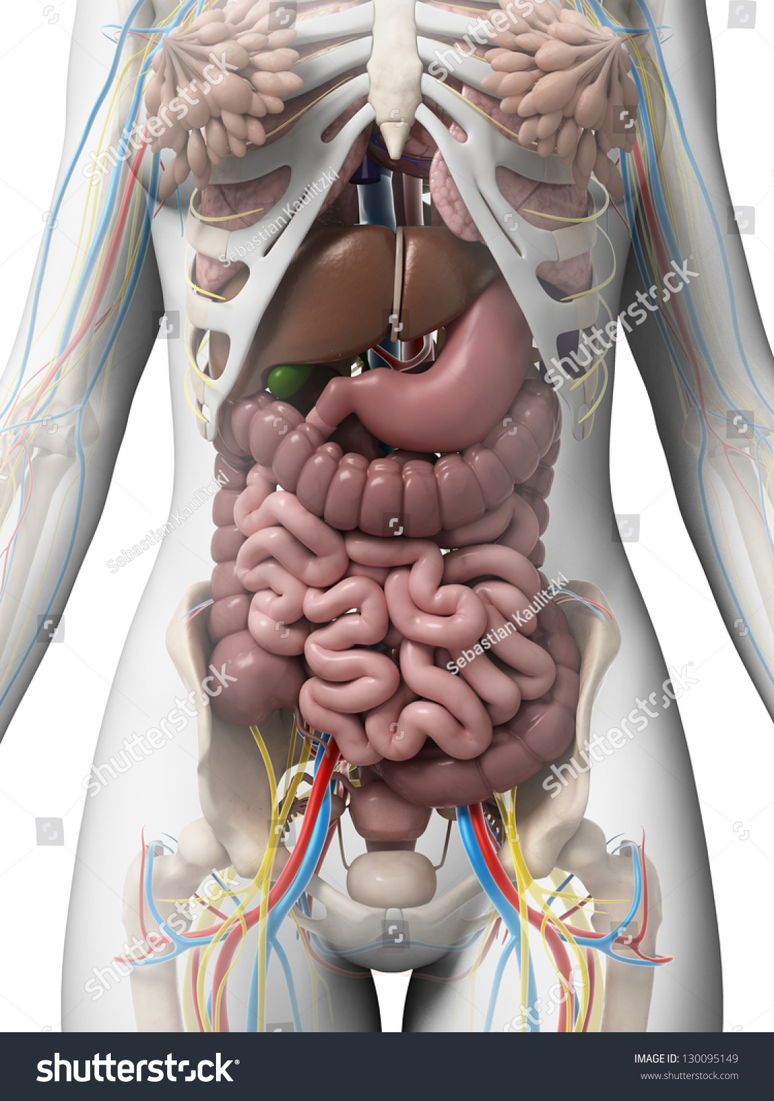 3 D Rendered Illustration Female Anatomy Stock Illustration