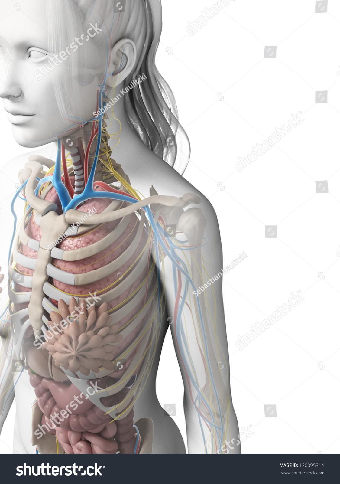 3 D Rendered Illustration Female Anatomy Stock Illustration ...